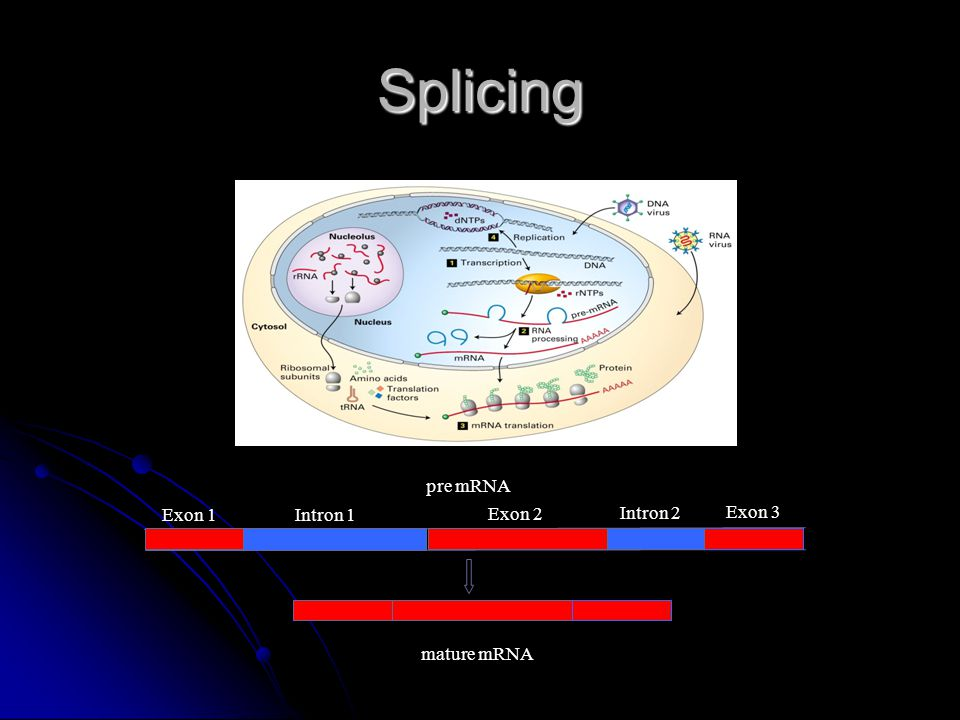 Splicing pre mRNA Exon 1 Intron 1 Exon 2 Intron 2 Exon 3 mature mRNA