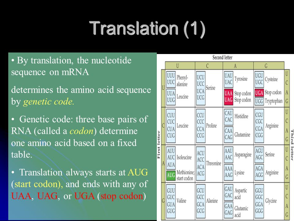 Translation (1) By translation, the nucleotide sequence on mRNA