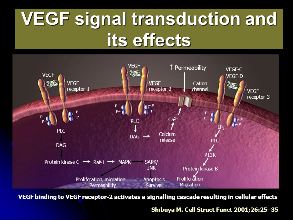 VEGF signal transduction and its effects