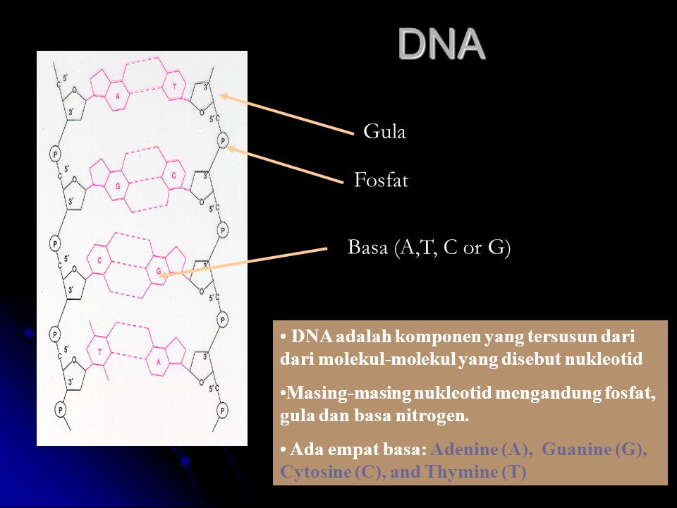 DNA Gula Fosfat Basa (A,T, C or G)