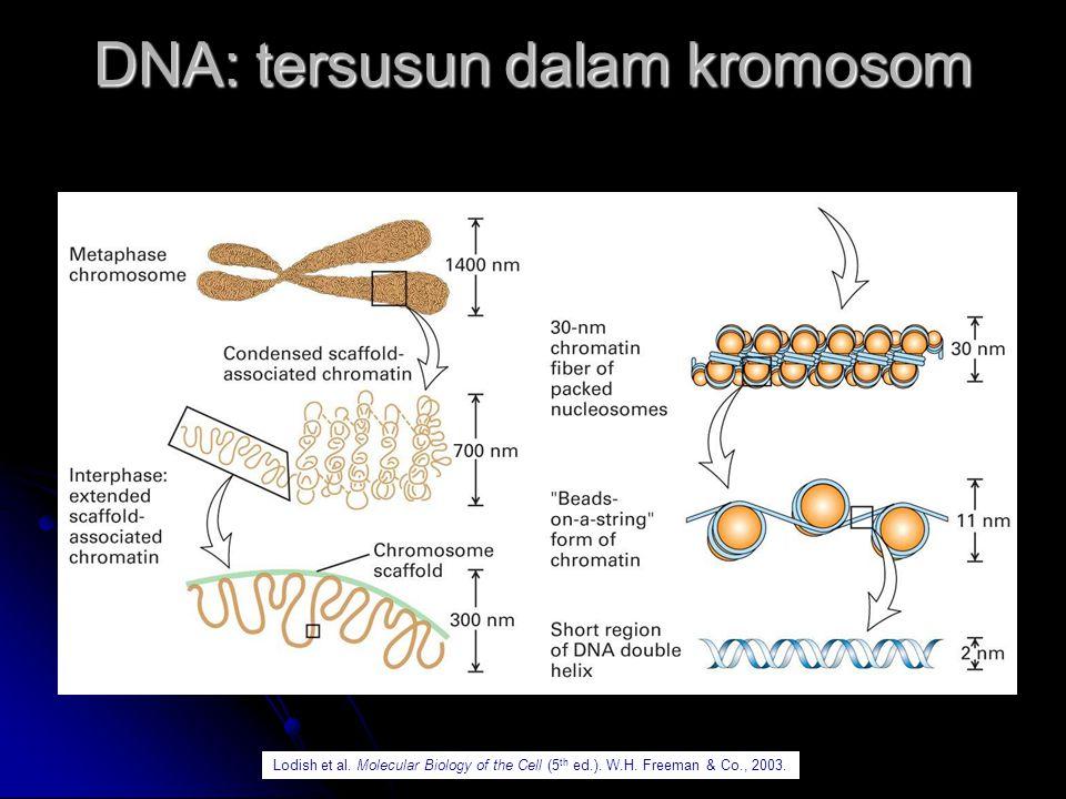 DNA: tersusun dalam kromosom