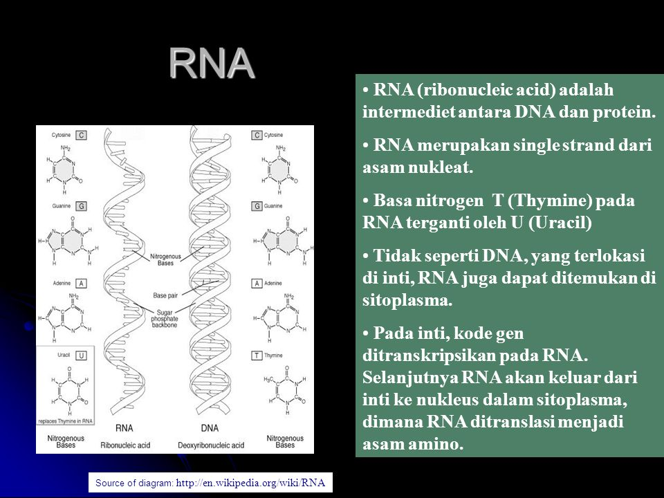 RNA RNA (ribonucleic acid) adalah intermediet antara DNA dan protein.