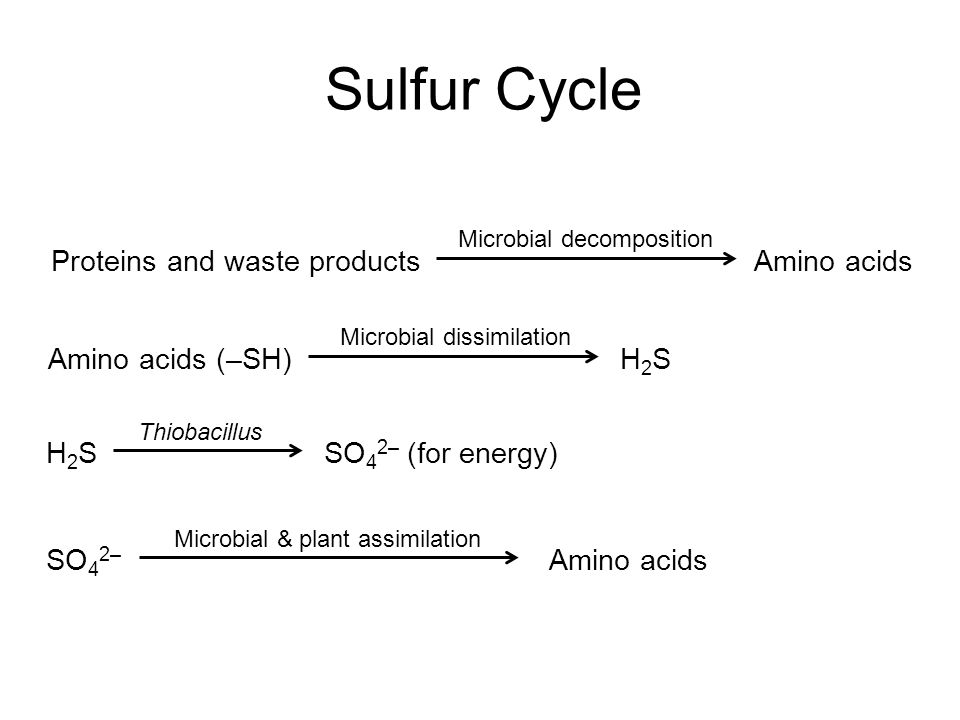 Sulfur Cycle Proteins and waste products Amino acids Amino acids (–SH)