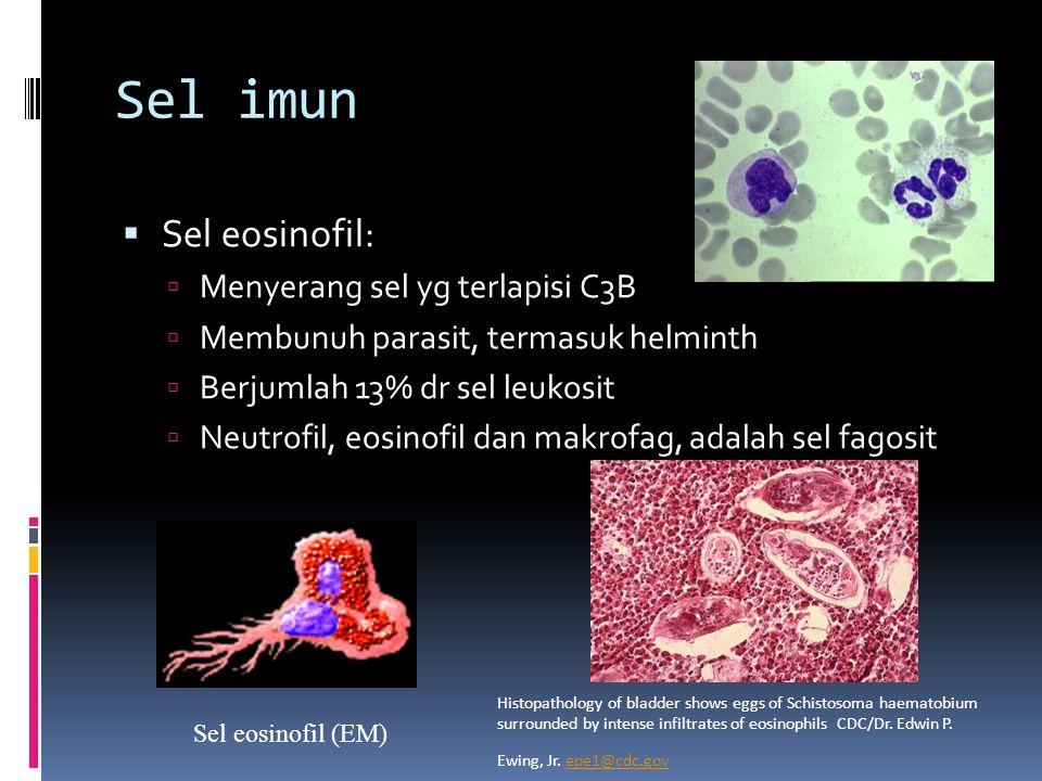 Sel imun Sel eosinofil: Menyerang sel yg terlapisi C3B
