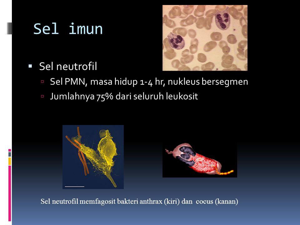 Sel imun Sel neutrofil Sel PMN, masa hidup 1-4 hr, nukleus bersegmen
