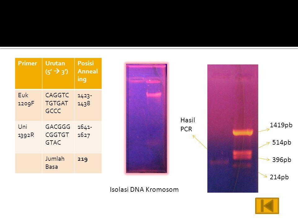 Hasil PCR 1419pb 514pb 396pb 214pb Isolasi DNA Kromosom Primer
