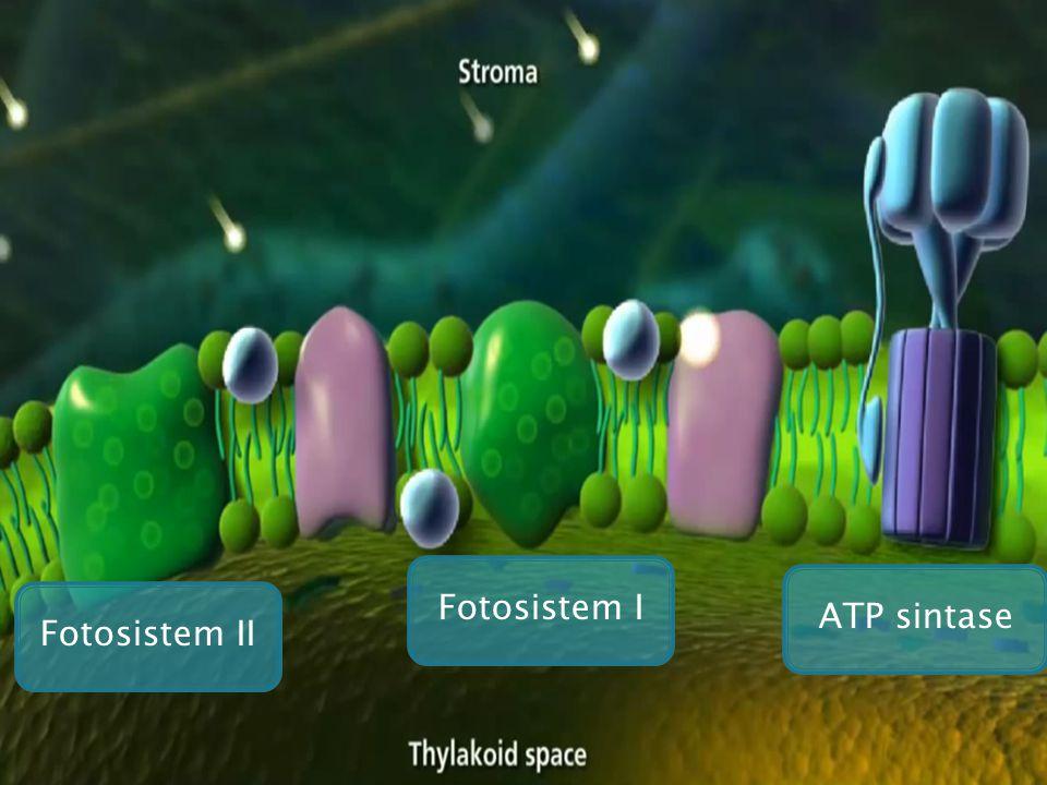 Fotosistem I ATP sintase Fotosistem II