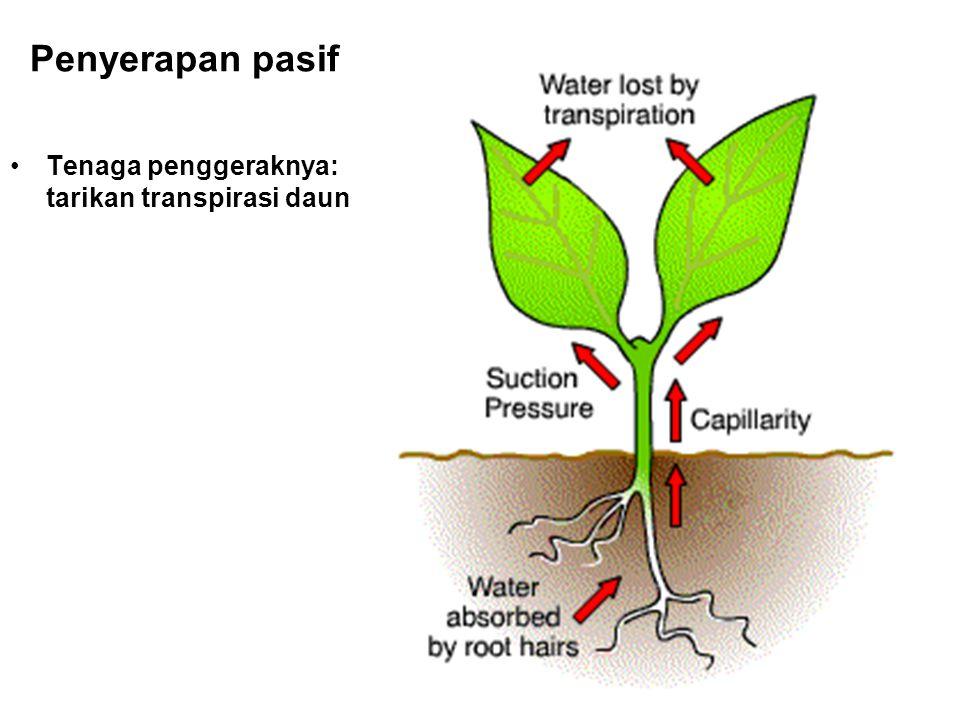 Penyerapan pasif Tenaga penggeraknya: tarikan transpirasi daun