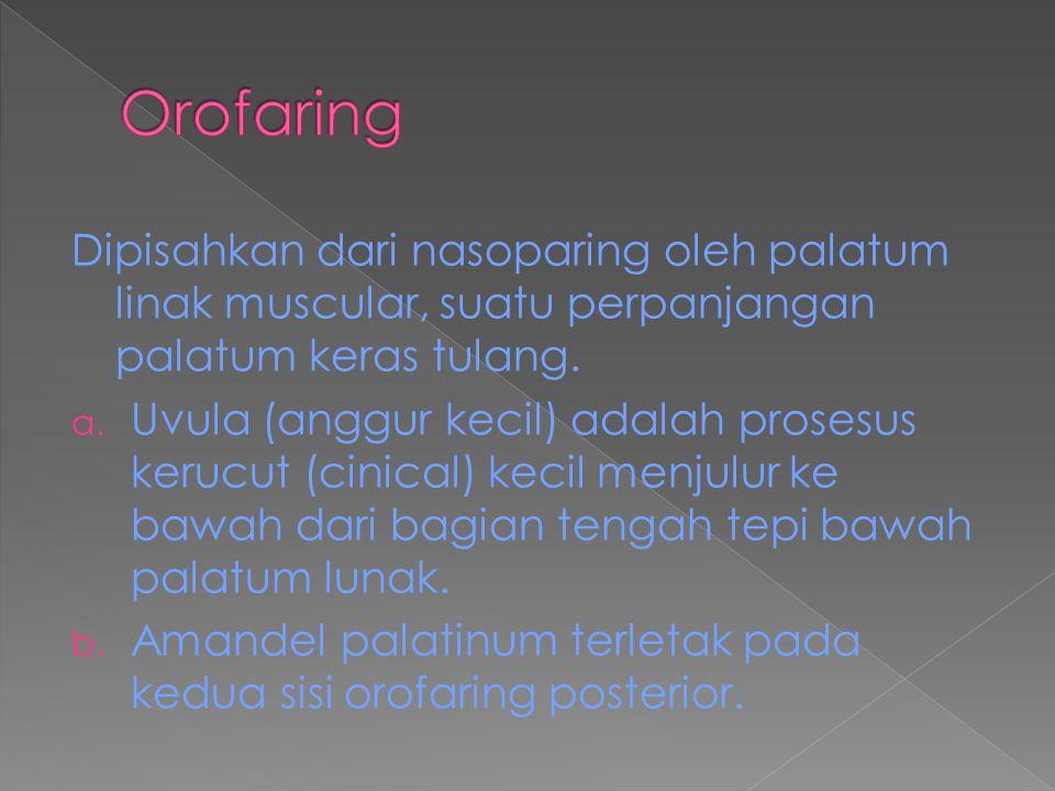 Orofaring Dipisahkan dari nasoparing oleh palatum linak muscular, suatu perpanjangan palatum keras tulang.