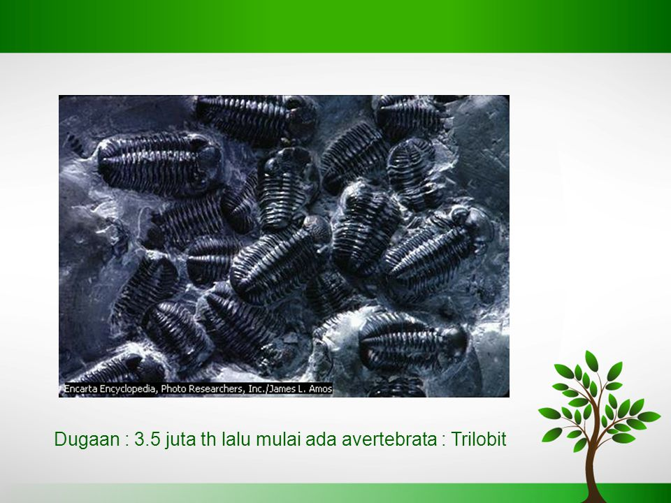 Dugaan : 3.5 juta th lalu mulai ada avertebrata : Trilobit