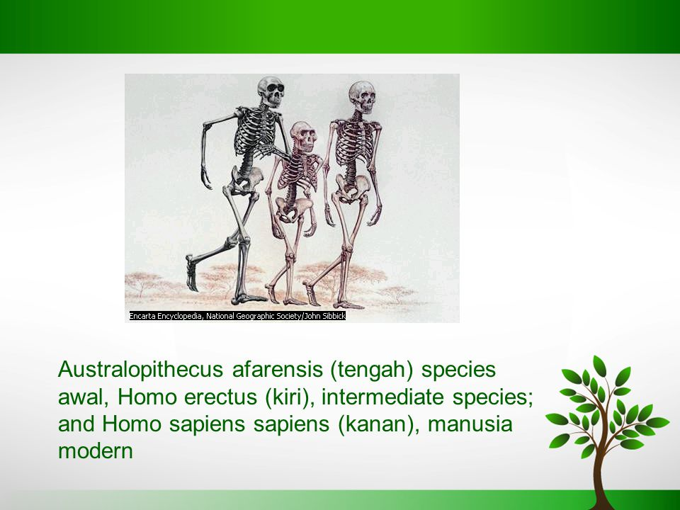 Australopithecus afarensis (tengah) species awal, Homo erectus (kiri), intermediate species; and Homo sapiens sapiens (kanan), manusia modern