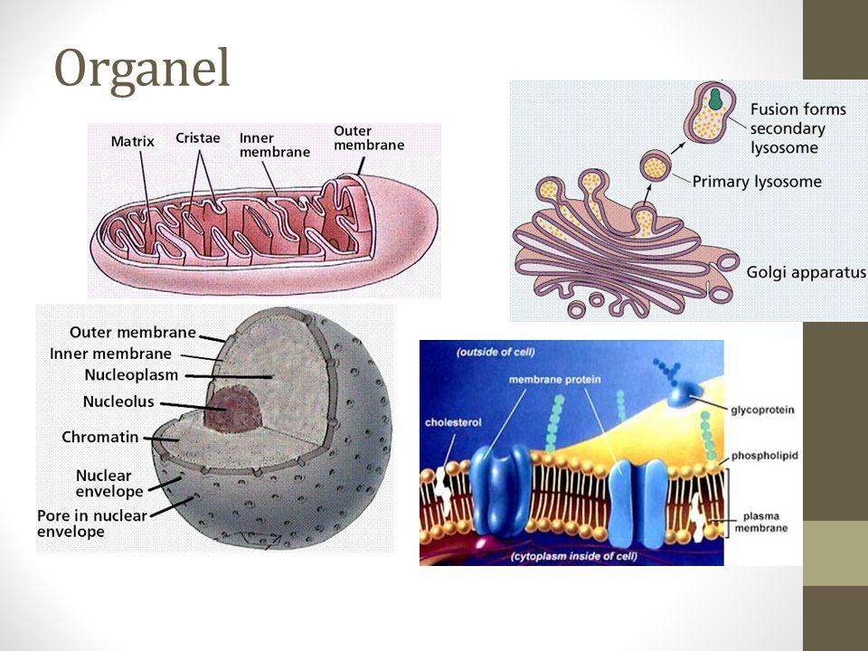 Organel