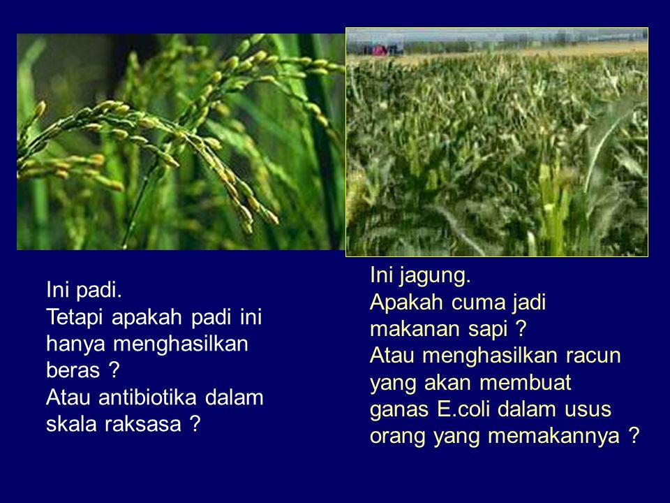 Ini jagung. Apakah cuma jadi. makanan sapi Atau menghasilkan racun. yang akan membuat. ganas E.coli dalam usus.