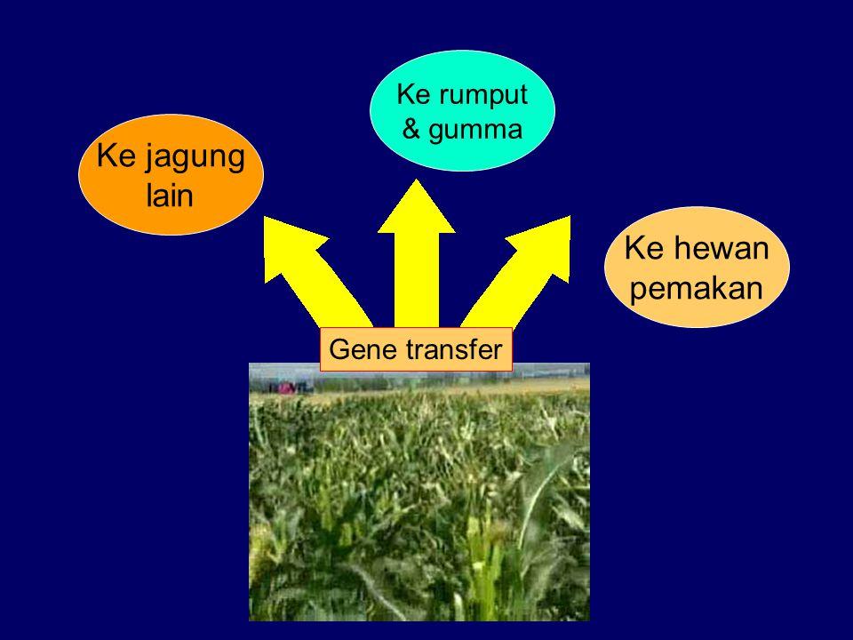 Ke rumput & gumma Ke jagung lain Ke hewan pemakan Gene transfer