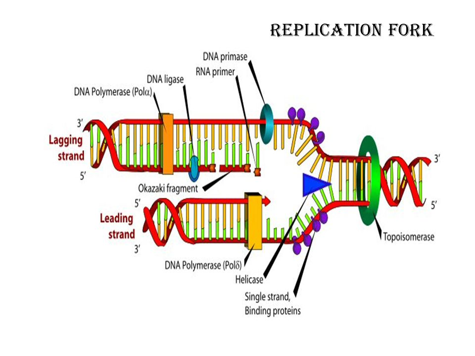 Replication fork