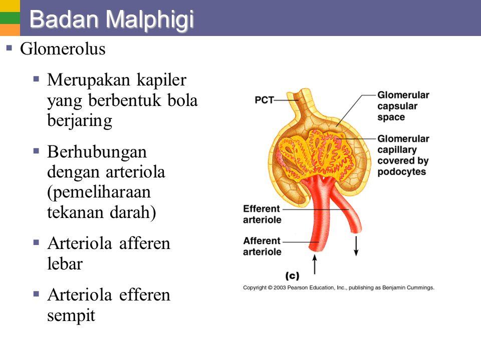 Badan Malphigi Glomerolus
