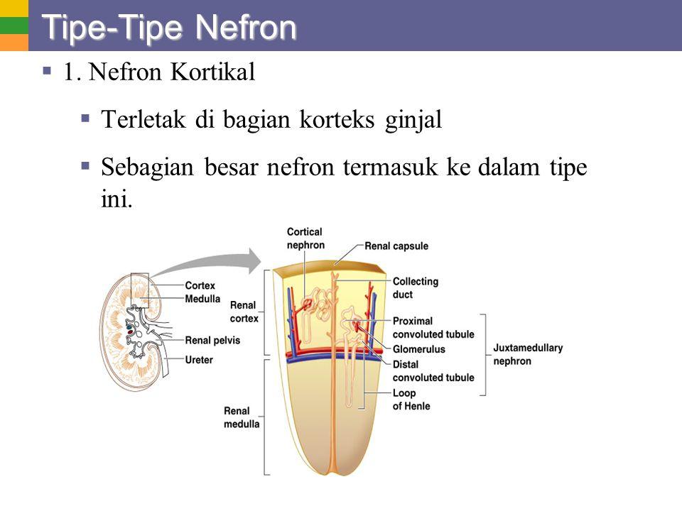 Tipe-Tipe Nefron 1. Nefron Kortikal Terletak di bagian korteks ginjal