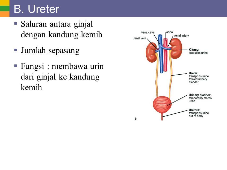 B. Ureter Saluran antara ginjal dengan kandung kemih Jumlah sepasang