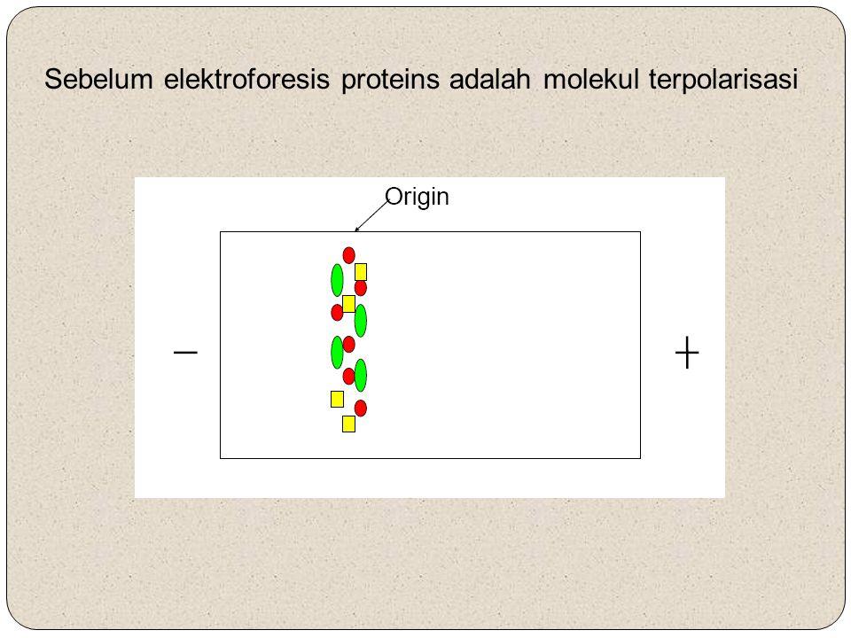Sebelum elektroforesis proteins adalah molekul terpolarisasi
