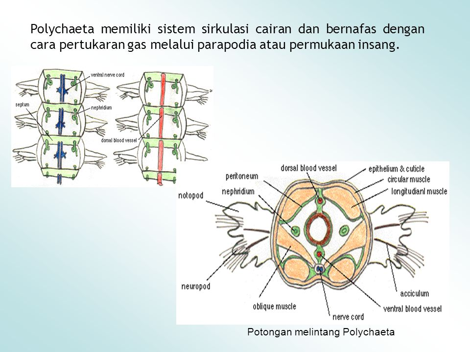 Polychaeta memiliki sistem sirkulasi cairan dan bernafas dengan cara pertukaran gas melalui parapodia atau permukaan insang.