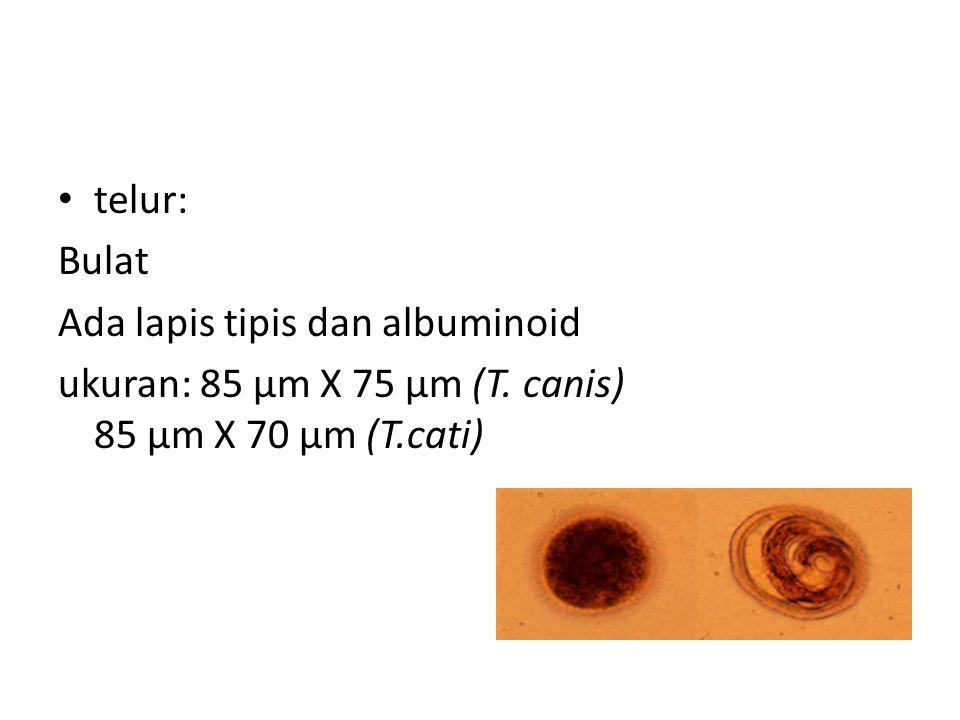 telur: Bulat. Ada lapis tipis dan albuminoid. ukuran: 85 µm X 75 µm (T.