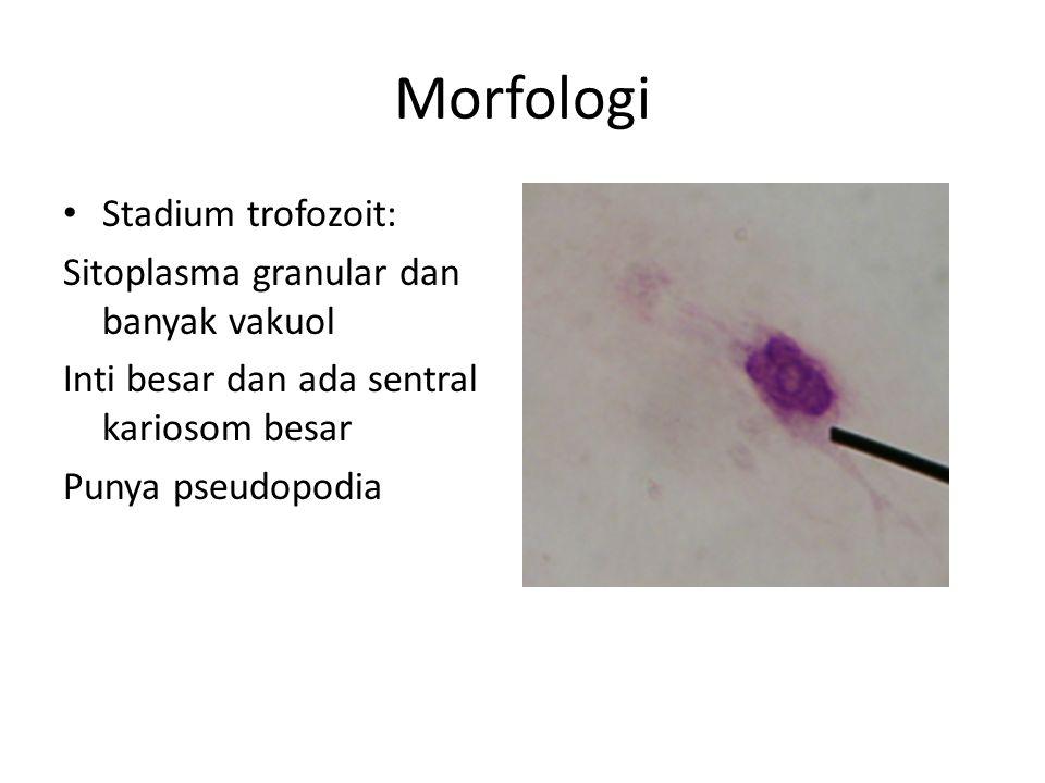 Morfologi Stadium trofozoit: Sitoplasma granular dan banyak vakuol
