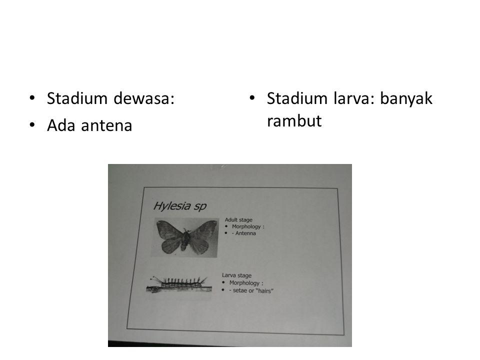 Stadium dewasa: Ada antena Stadium larva: banyak rambut