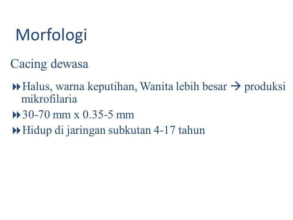 Morfologi Cacing dewasa