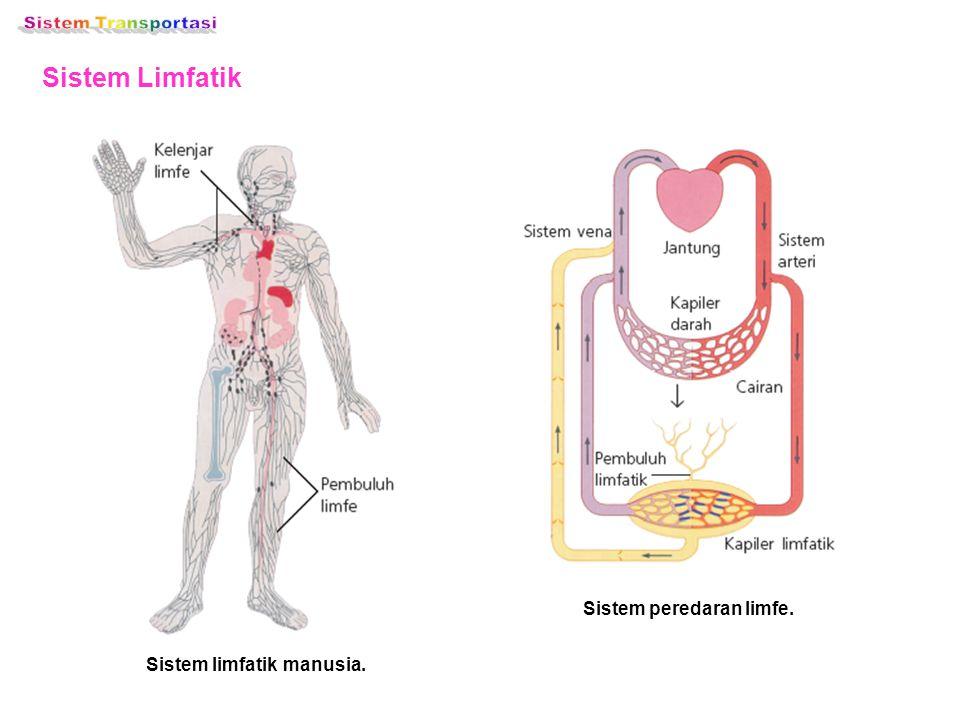 Sistem peredaran limfe. Sistem limfatik manusia.