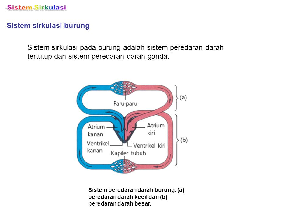 Sistem Sirkulasi Sistem sirkulasi burung