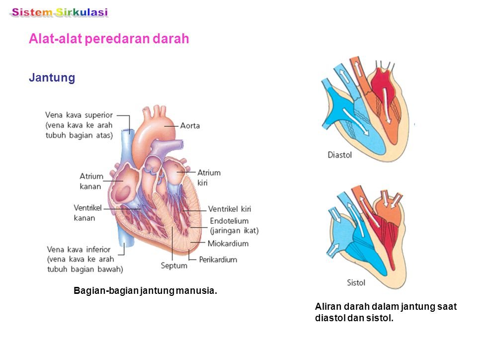 Bagian-bagian jantung manusia.