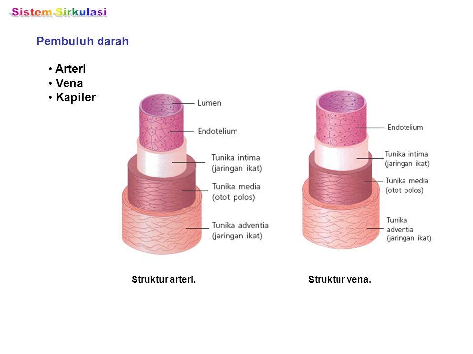 Sistem Sirkulasi Pembuluh darah Arteri Vena Kapiler Struktur arteri.