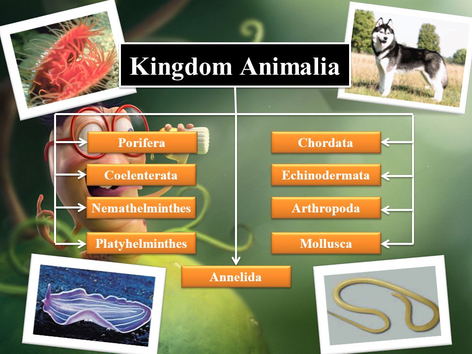 Kingdom Animalia Porifera Chordata Coelenterata Echinodermata