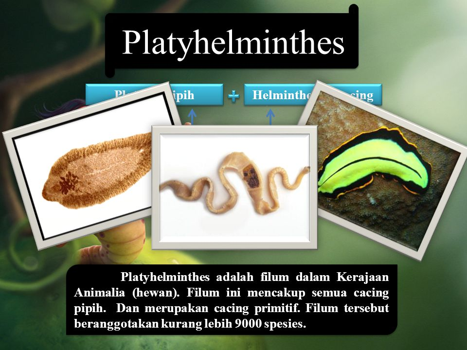 Helminthes => cacing Platyhelminthes => cacing pipih