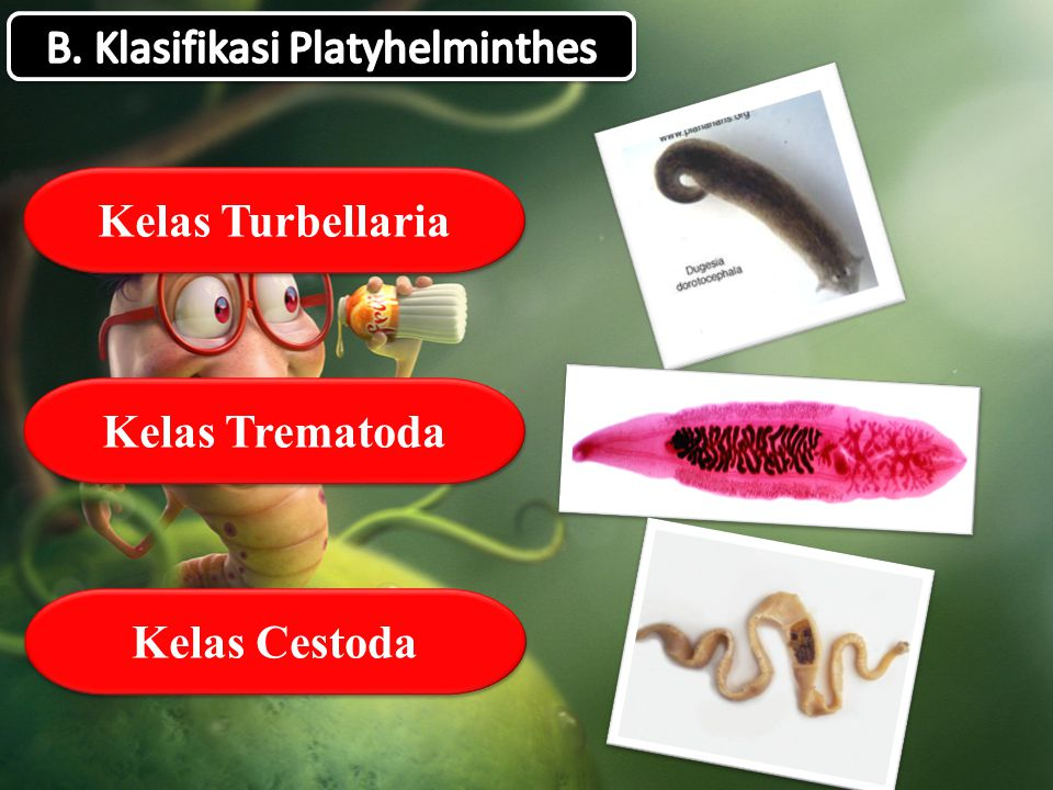 B. Klasifikasi Platyhelminthes