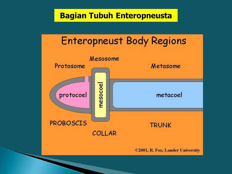 Bagian Tubuh Enteropneusta