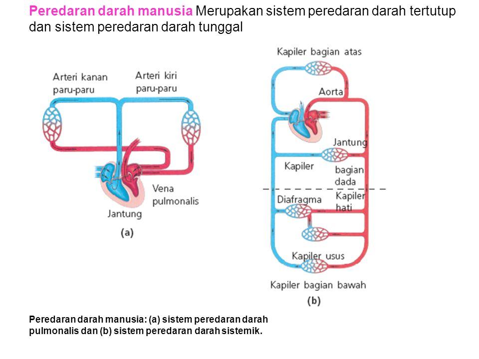 Peredaran darah manusia Merupakan sistem peredaran darah tertutup dan sistem peredaran darah tunggal