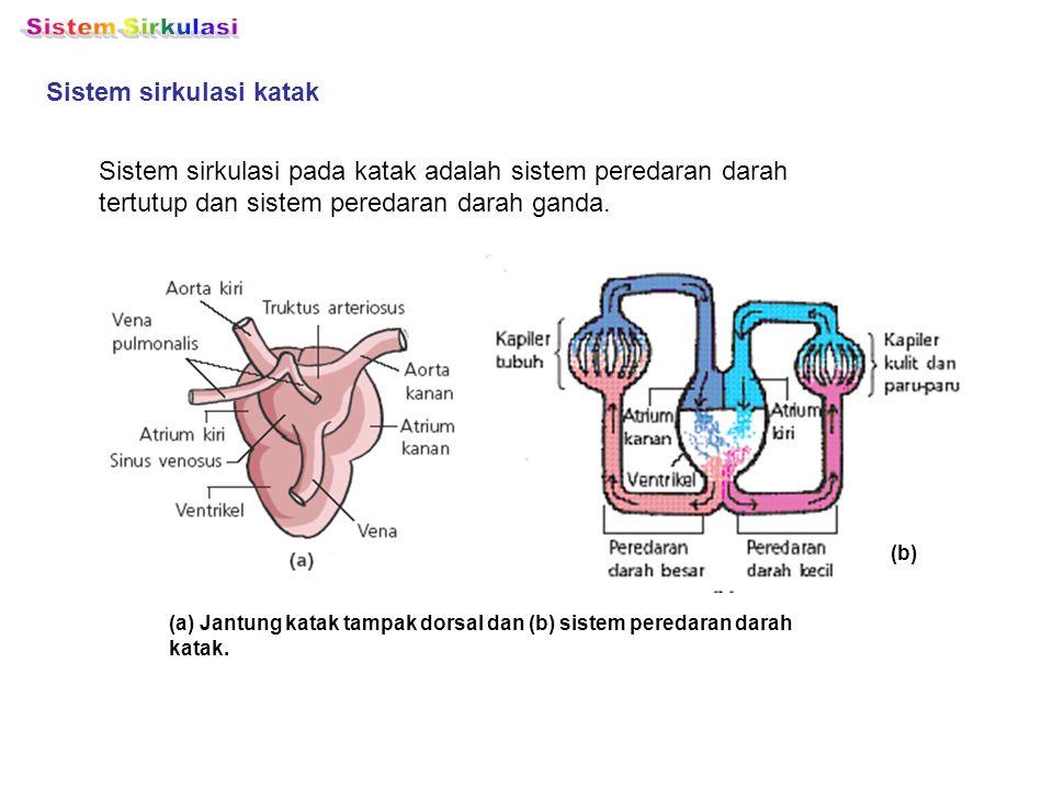 Sistem Sirkulasi Sistem sirkulasi katak