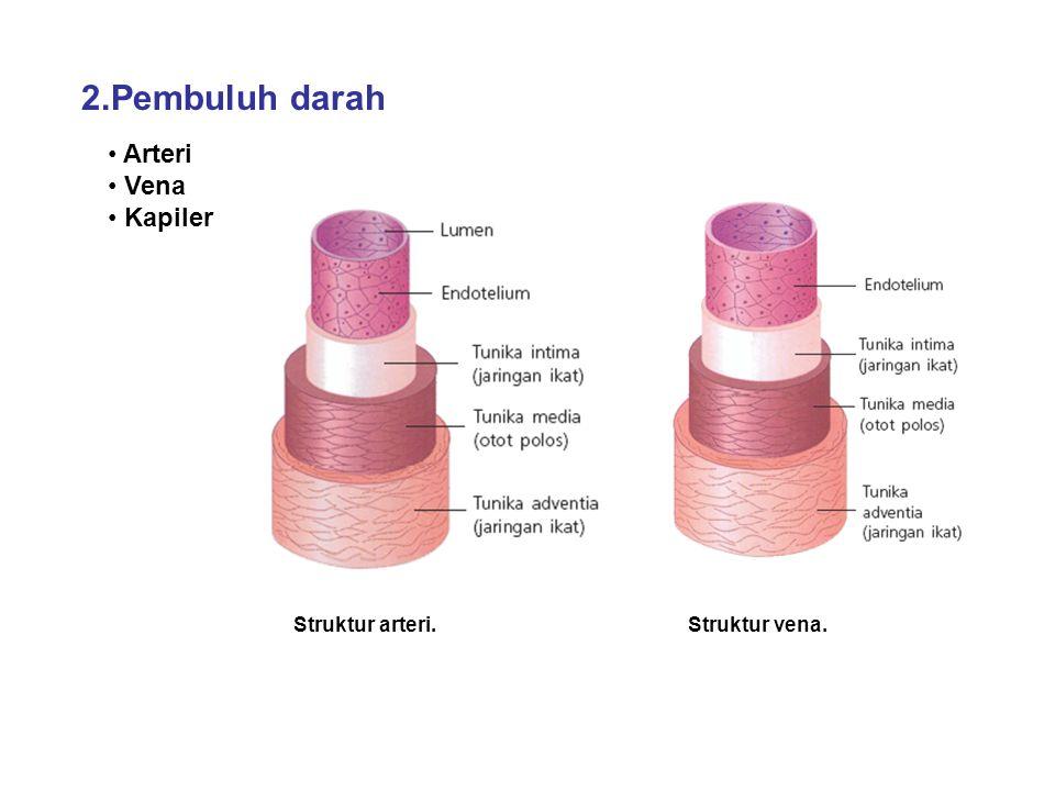2.Pembuluh darah Arteri Vena Kapiler Struktur arteri. Struktur vena.