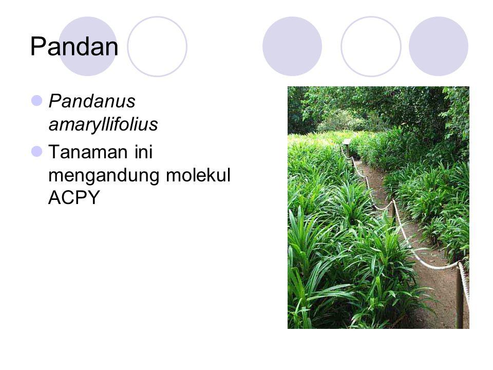 Pandan Pandanus amaryllifolius Tanaman ini mengandung molekul ACPY