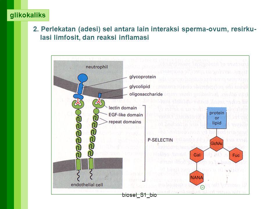 glikokaliks 2. Perlekatan (adesi) sel antara lain interaksi sperma-ovum, resirku-lasi limfosit, dan reaksi inflamasi.