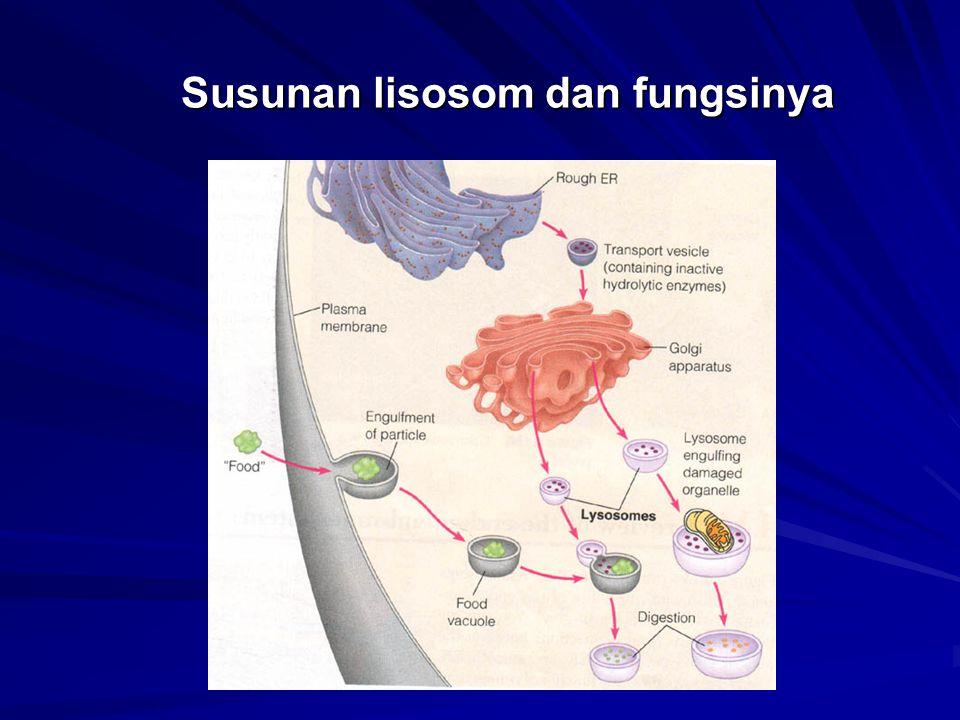Susunan lisosom dan fungsinya