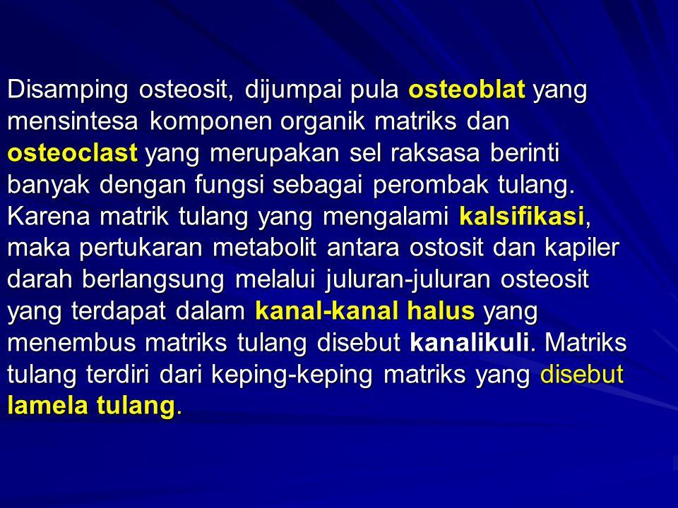 Disamping osteosit, dijumpai pula osteoblat yang mensintesa komponen organik matriks dan osteoclast yang merupakan sel raksasa berinti banyak dengan fungsi sebagai perombak tulang.