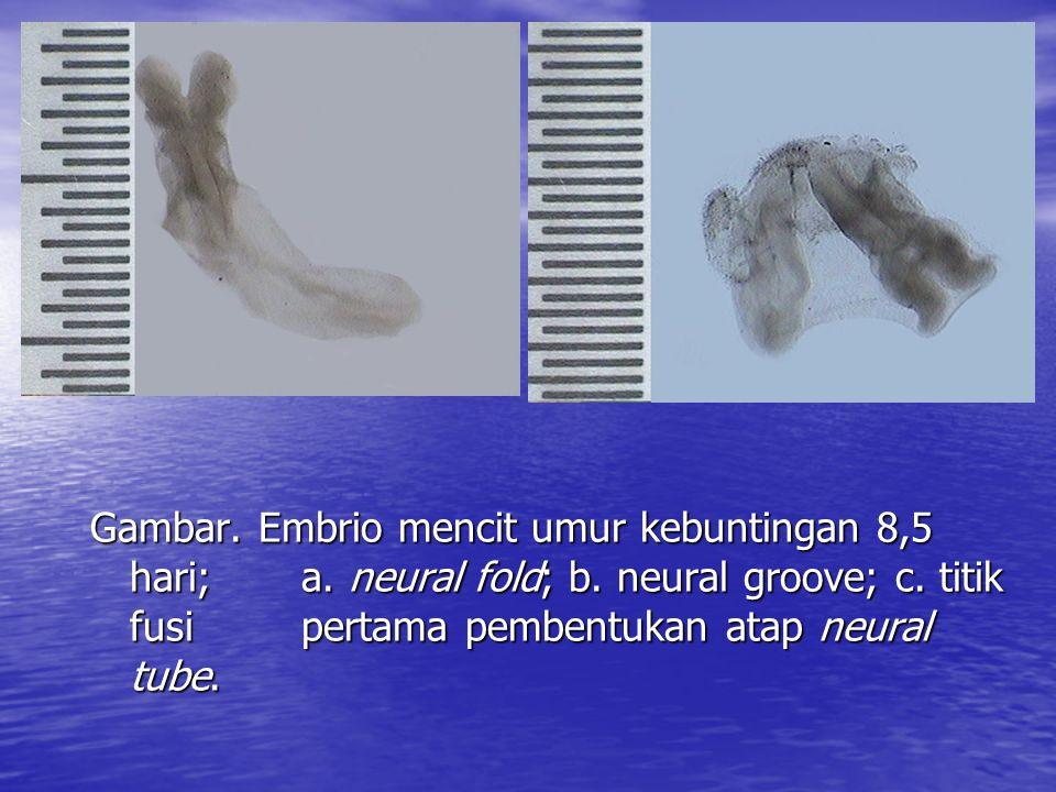 Gambar. Embrio mencit umur kebuntingan 8,5 hari;. a. neural fold; b