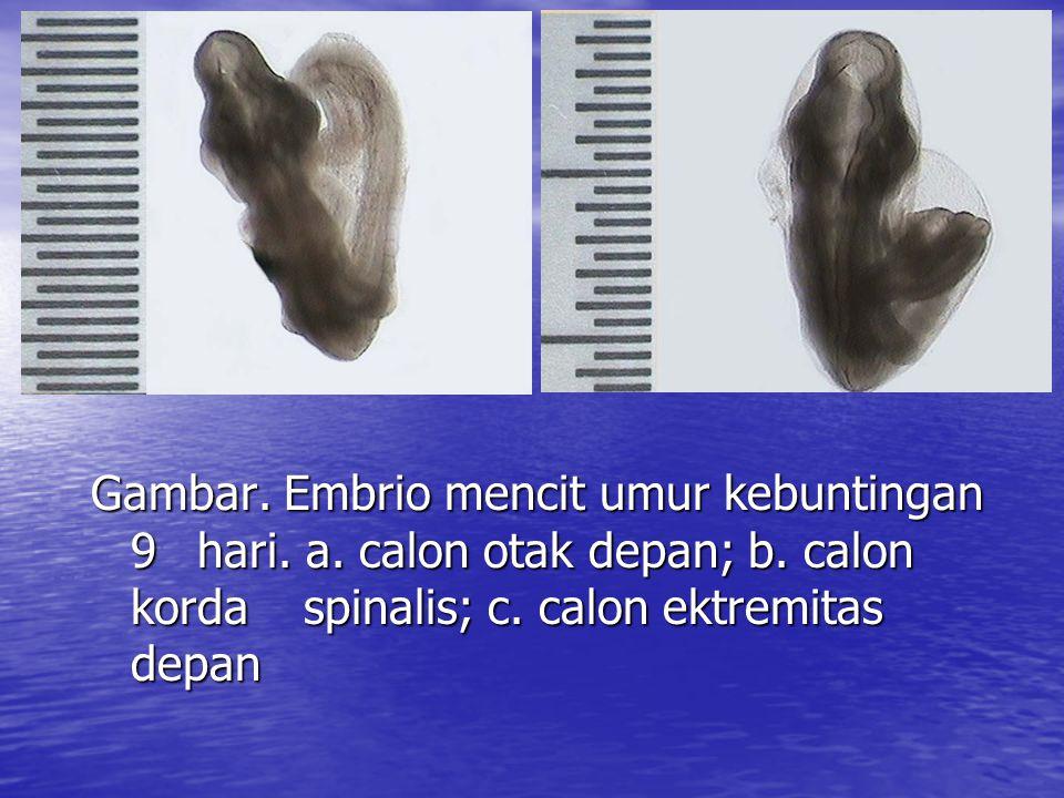 Gambar. Embrio mencit umur kebuntingan 9. hari. a. calon otak depan; b