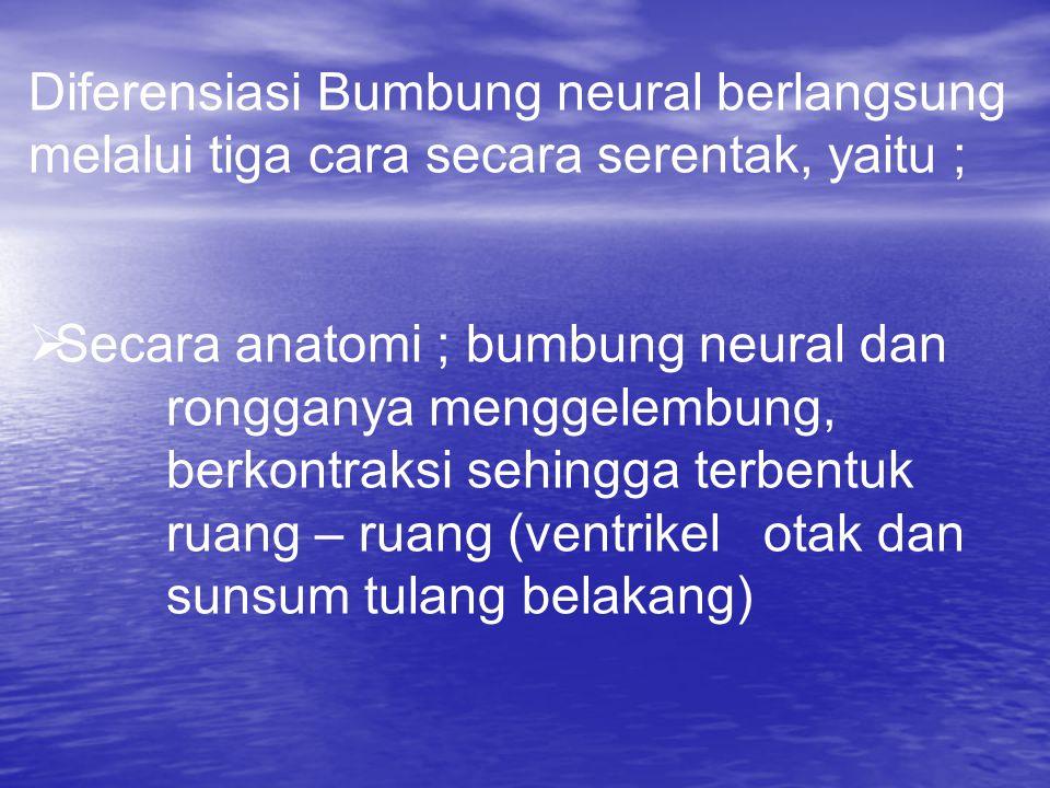 Diferensiasi Bumbung neural berlangsung melalui tiga cara secara serentak, yaitu ;