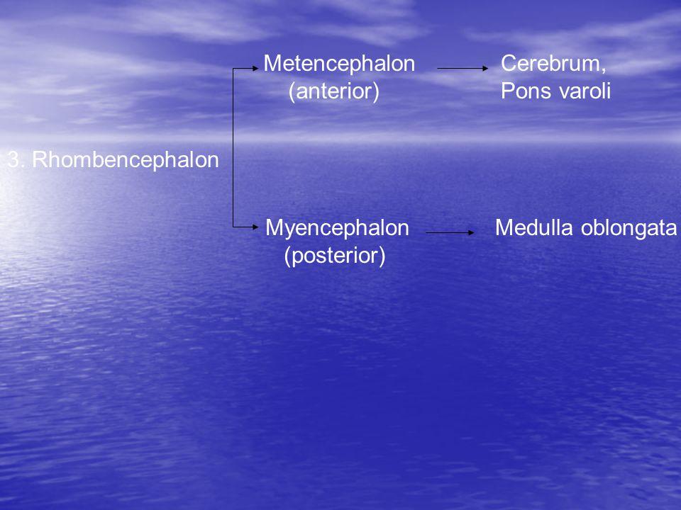 Metencephalon (anterior) Cerebrum, Pons varoli. 3.