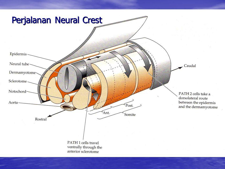 Perjalanan Neural Crest