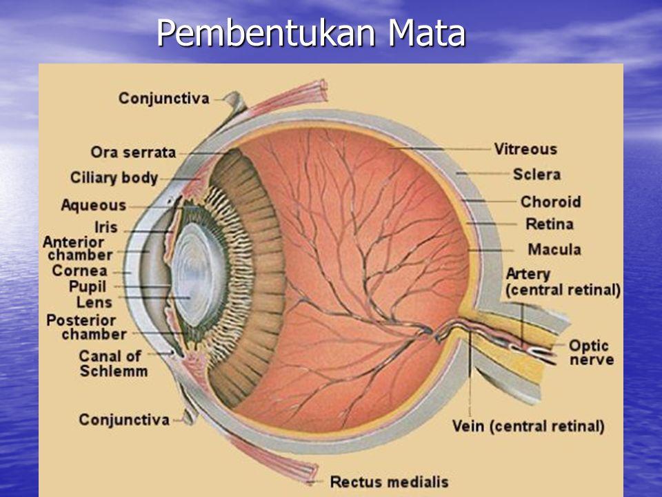 Pembentukan Mata