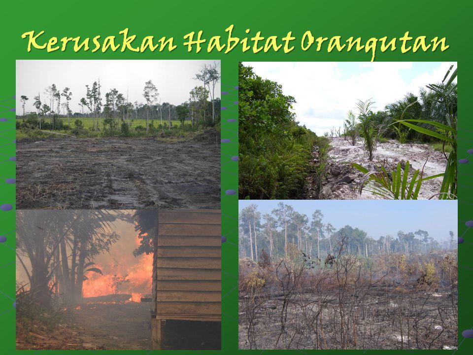 Kerusakan Habitat Orangutan